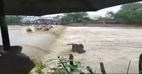 Watch: Cattle washed away in flash floods