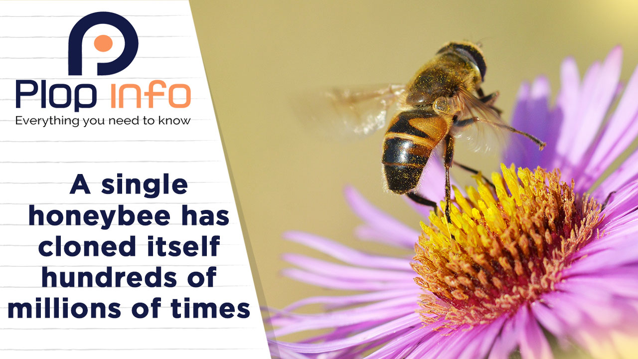 A single honeybee has cloned itself hundred of million times | Everything You Need To Know | Plop Info