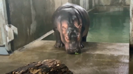 Fiona, the hippo is 1000 pounds and a social media star!
