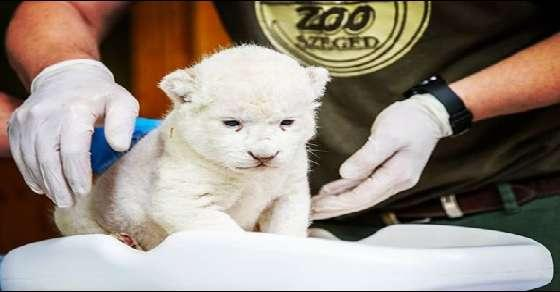 Images of a rare white lion cub melting hearts on the Internet